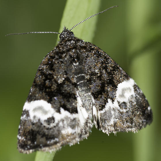 Another GROWISER moth - Annaphila diva