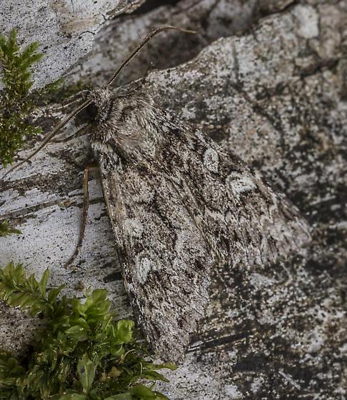 Platypolia anceps