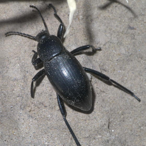 Black darkling beetle? (2) - Eleodes