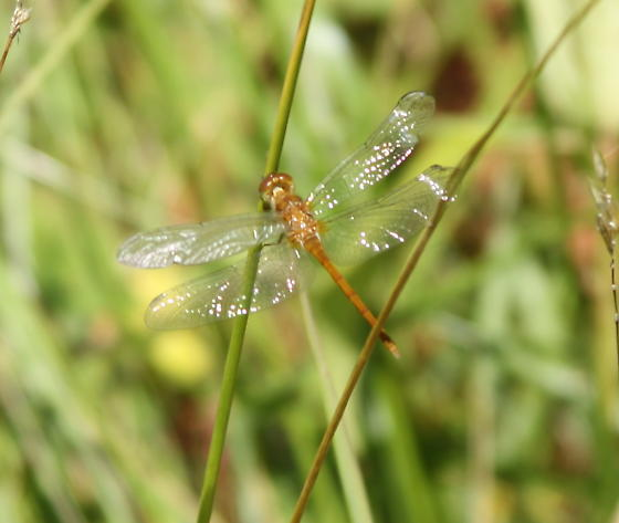 Unknown Dragonfly - Sympetrum