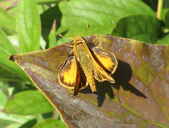 Which Skipper? - Hylephila phyleus