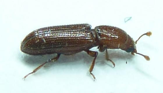 Bothrideridae - Oxylaemus californicus? - Oxylaemus californicus