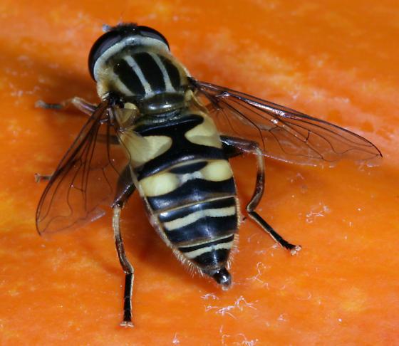 Helophilus fasciatus - female
