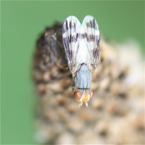 Fly - Herina