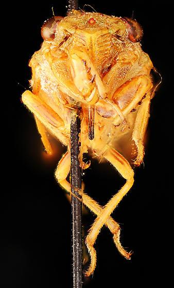 Cicadetta kansa, anterior - Cicadetta kansa - female