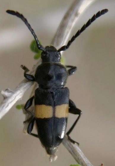 Lissonotus, dorsal view - Lissonotus flavocinctus