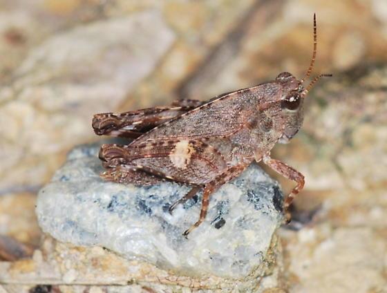 Fork-face Pygmy Grasshopper - Neotettix proavus