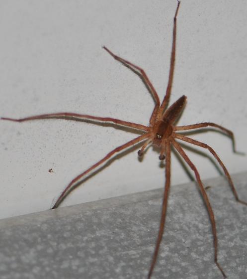 Spider ID Request - Pisaurina mira - male