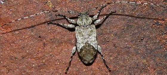 Styloleptus biustus