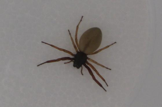 What is this spider??? - Trachelas
