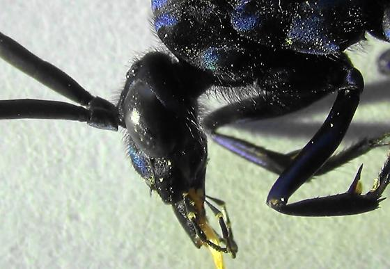 Handsome Tarantula Hawk (lateral head) - Pepsis thisbe - male
