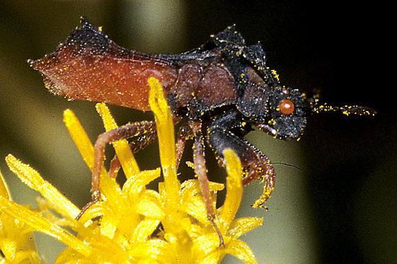 Phymata arctostaphylae