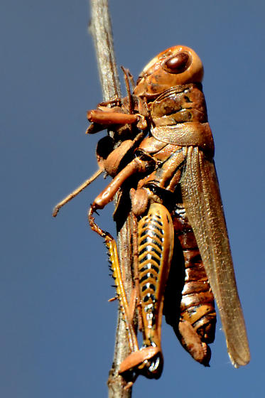 Rusty Grasshopper - Melanoplus differentialis - female