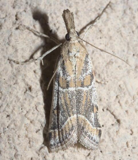 White, gray, and yellow moth (2) - Martia arizonella