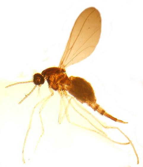 Winnertzia solidaginis - female