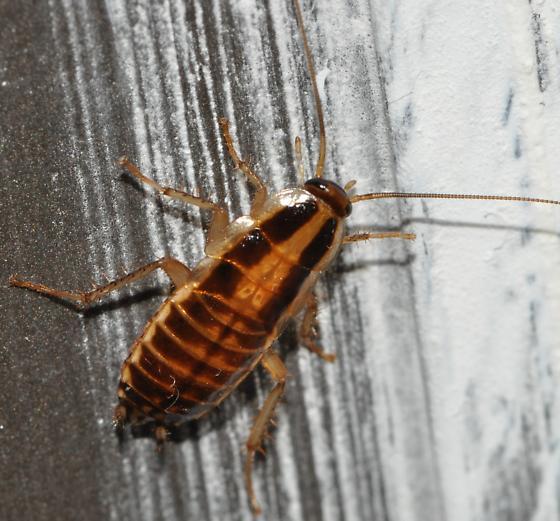 Cockroach - Blattella germanica