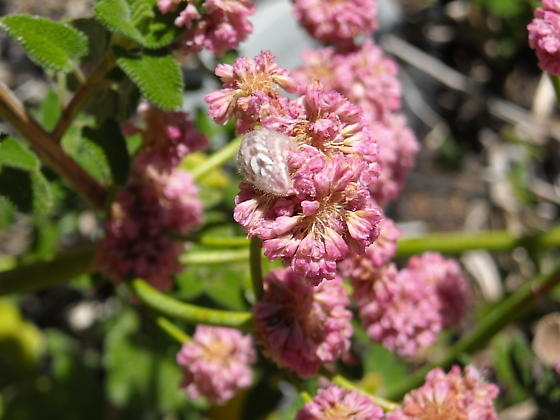 Butterfly larva - Strymon melinus