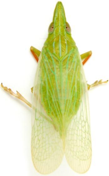Rhynchomitra recurva - female