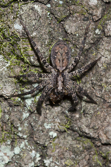 Wolf Spider with prey - Gladicosa pulchra