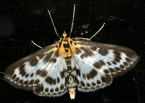 Unknown Moth - Anania hortulata