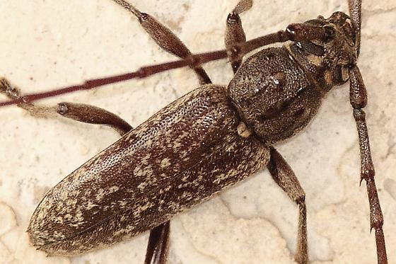 Longhorned Beetle - Parelaphidion aspersum