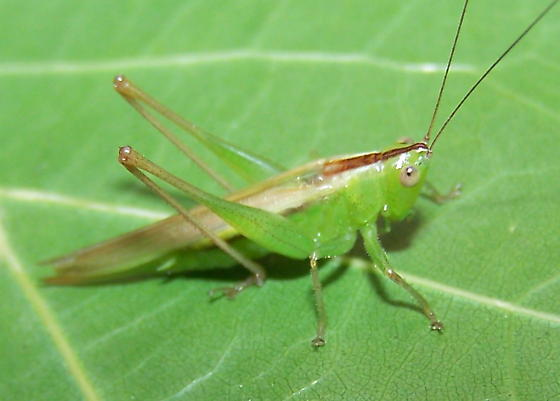 Conocephalus fasciatus - female