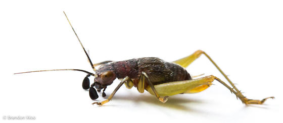 Phyllopalpus pulchellus - female