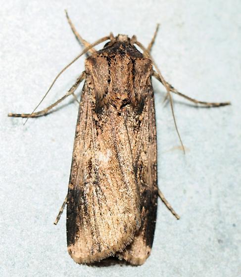 Cutworm/Dart Moth? - Feltia subterranea