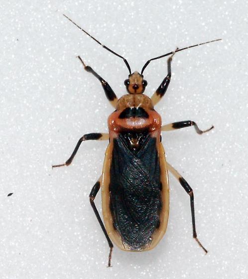 Black and Red Beware - Rhiginia cruciata