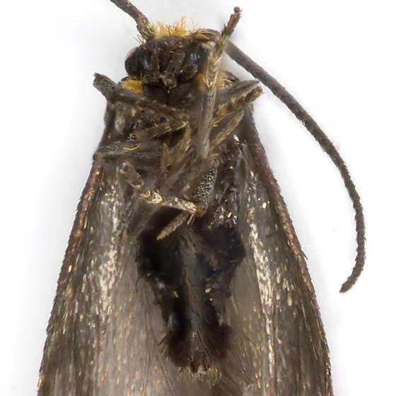 Maple Leafcutter - Paraclemensia acerifoliella