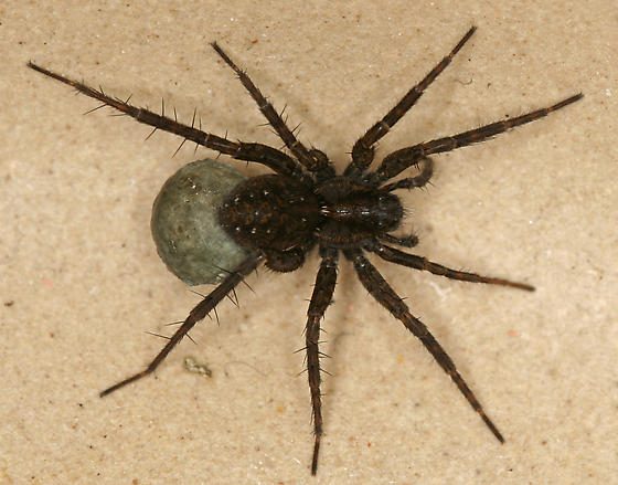 Small dark wolf spider - Pardosa vancouveri - female