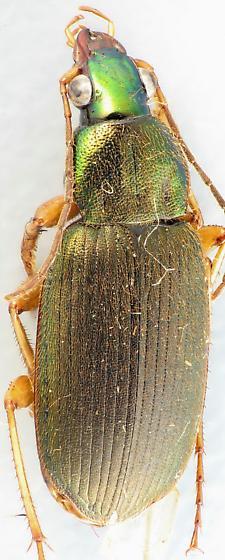 Chlaenius  - Chlaenius pennsylvanicus - male