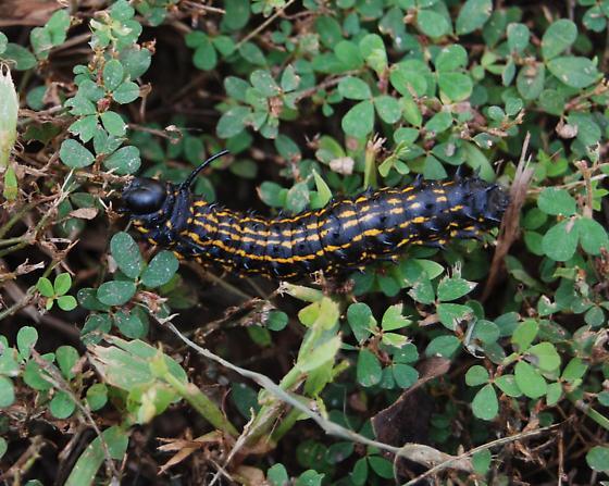 What Type Of Caterpillar Is This Anisota Peigleri Bugguidenet