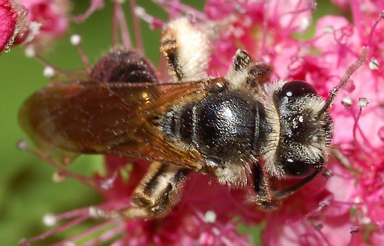 Bee on spiraea - Andrena crataegi - female