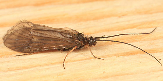 Caddisfly - Apatania incerta