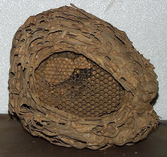 ANOTHER LARGE MATURE EUROPEAN HORNET NEST - Vespa crabro
