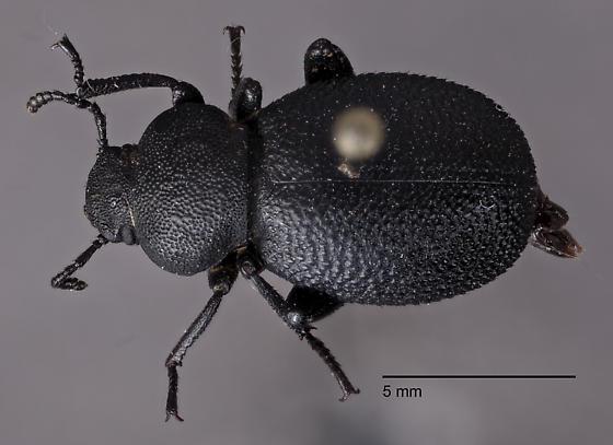 Tenebrionidae 3 - Eleodes pimelioides