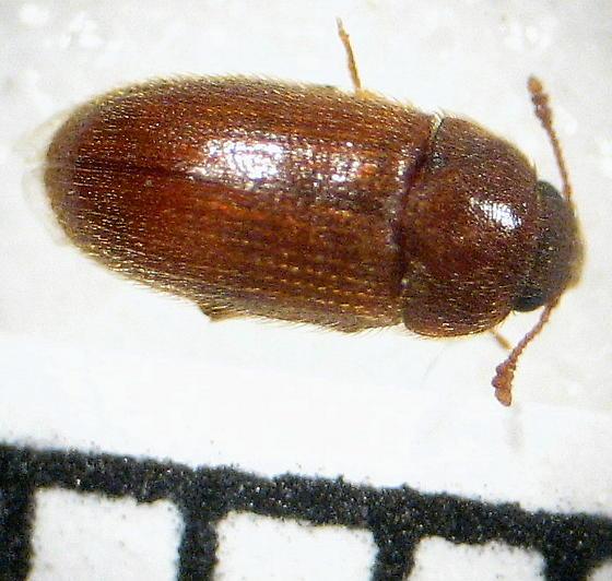 beetle family? - Typhaea stercorea