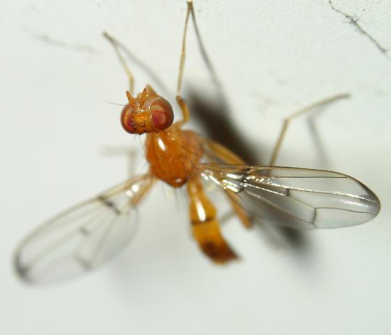 very small fly - Odontomera ferruginea