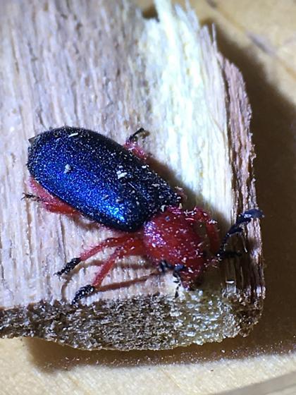 Chariessa catalina - Red and iridescent blue/black beetle - Chariessa catalina