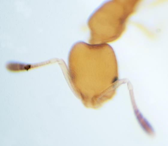 Possibly Cardiocondyla sp. - Cardiocondyla - female