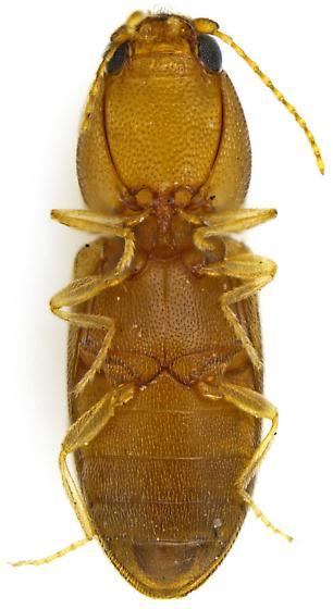 Elateroidea - Paradonus futilis