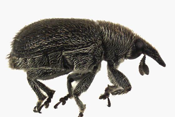 Weevil Beetle  - Rhinusa antirrhini