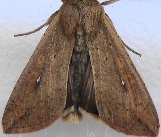 Armyworm Moth with Spines - Mythimna unipuncta