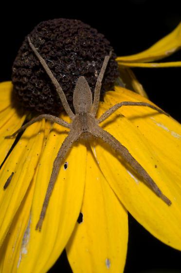 Long, thin spider - Pisaurina mira