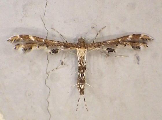 Pterophoridae: Geina periscelidactylus? - Geina