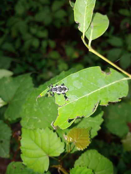 Small black and white weevil