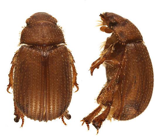 Glaresis canadensis  - Glaresis canadensis