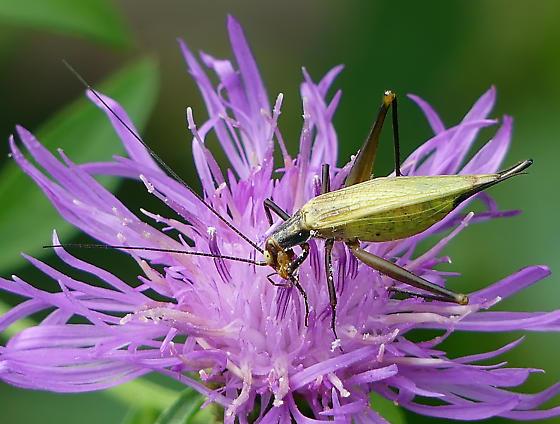 Black-horned Tree Cricket - Oecanthus nigricornis - Oecanthus - female