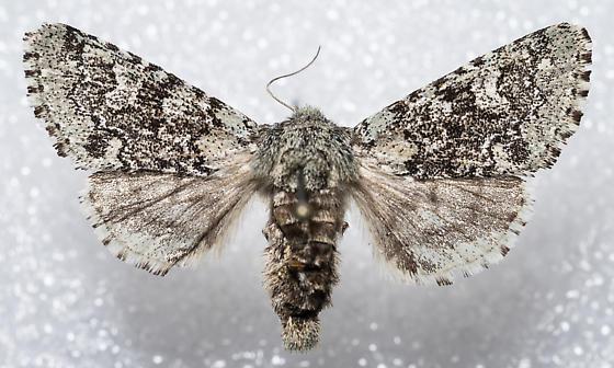 Feralia major - female